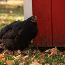 Country fun, Black hen, Red Barn door, country fun, country life, children, school holidays, dogs,family fun
