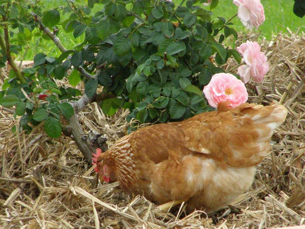 Suburban garden for hens Courtesy S349142
