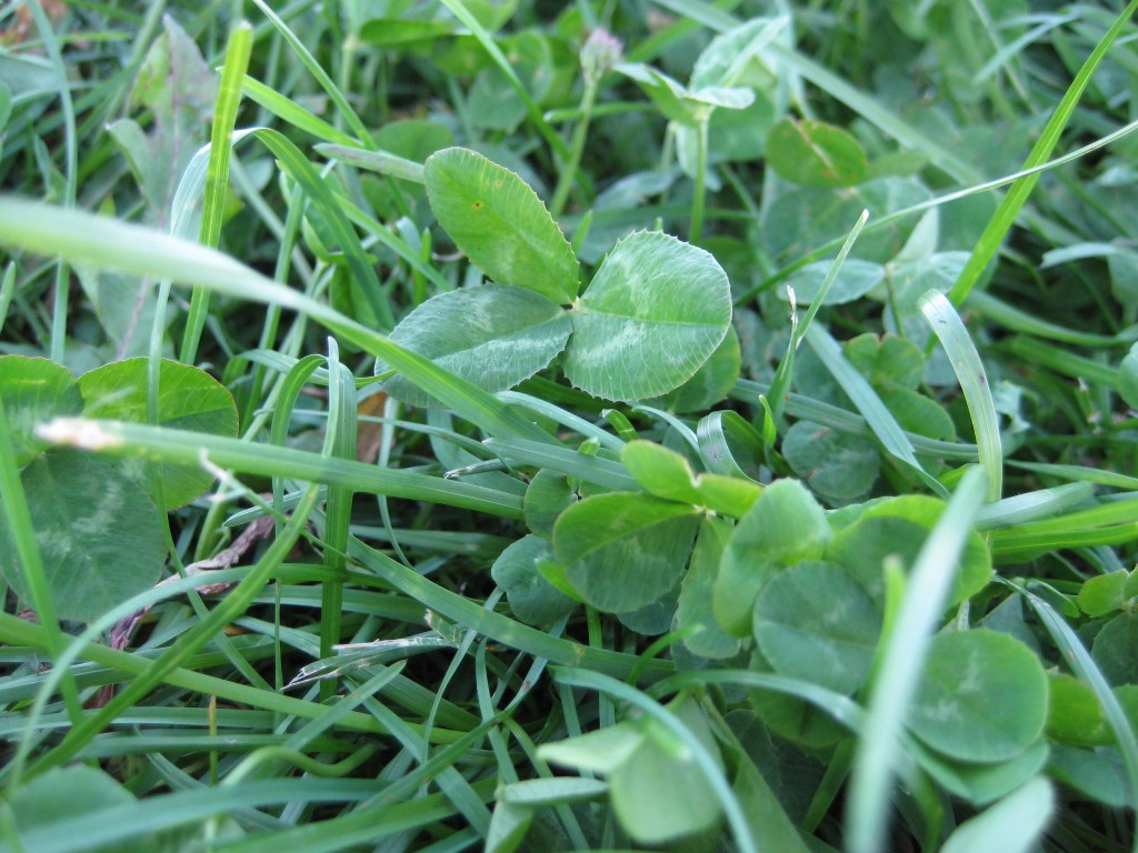 Green clover  Courtesy dharder
