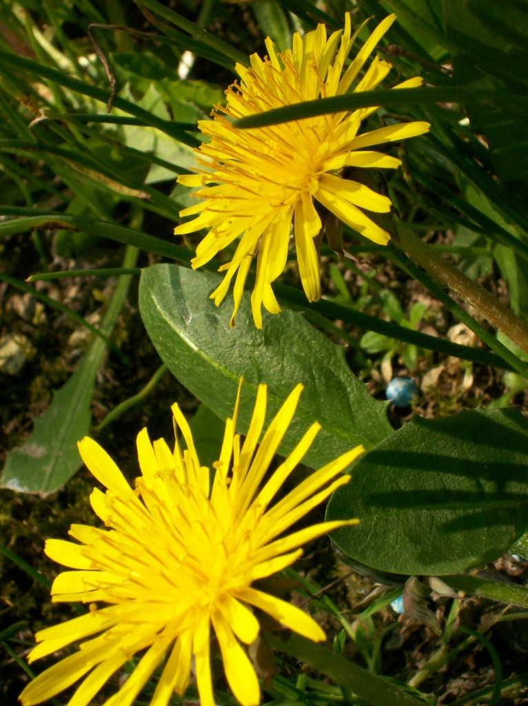 Hens love Dandelions Courtesy fedegrafo