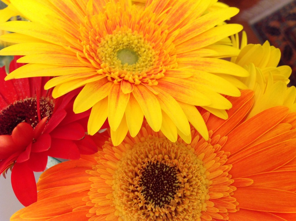Gerbera , vibrant jewel colours