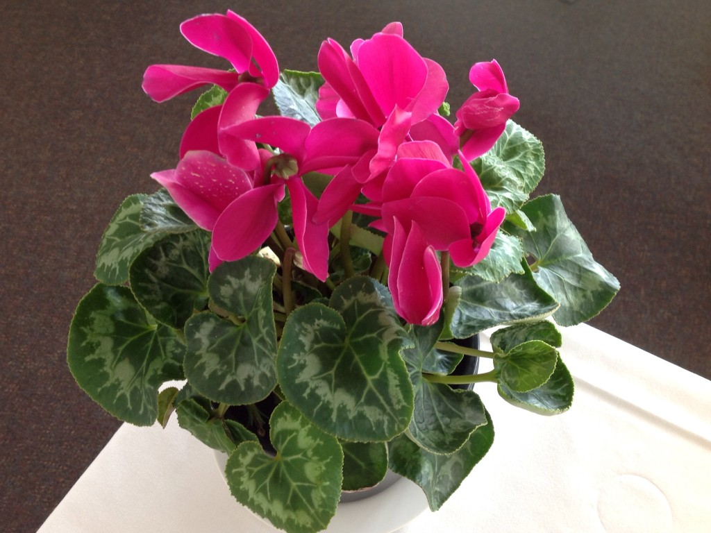 Joy of friends, a support network, cyclamen in pot