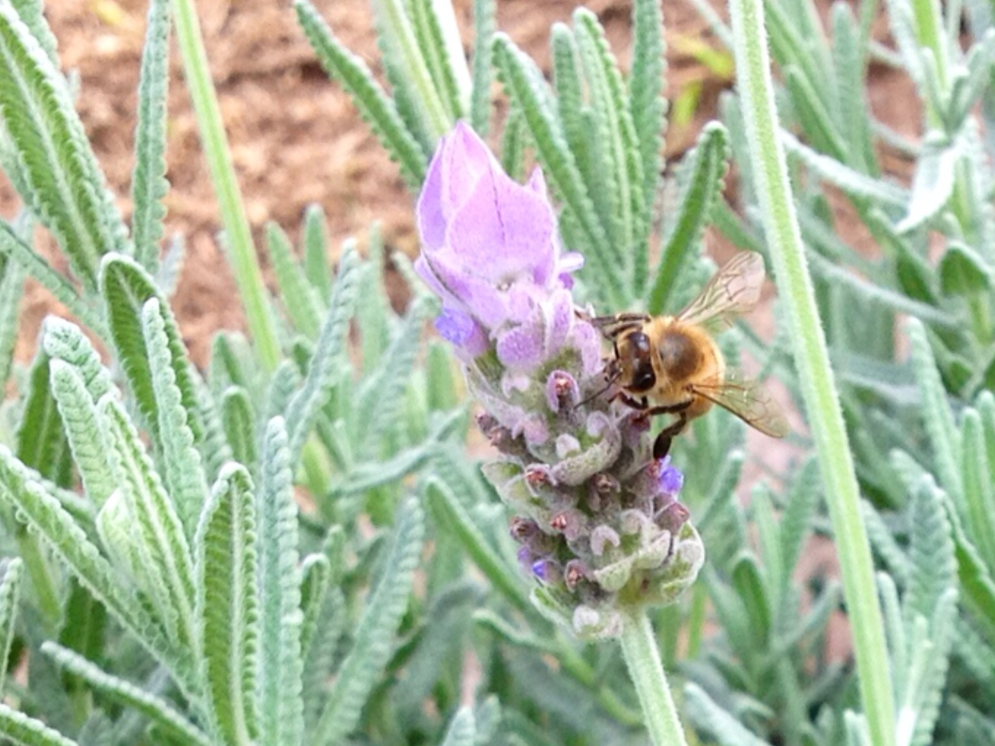 Contentment, simple life, simple living, lavender , bee, bees, honey, nectar