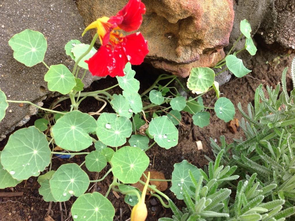 Why is it raining, refreshing, washing, water, rain, save water, rain drops, Basil, vegetable garden, herbs, fresh herbs, bees, pollination , herb garden,
