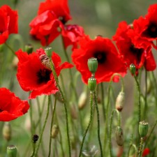 Anzac morning in the country, red poppies, rememberance, Anzac Day, Anzac in Australia