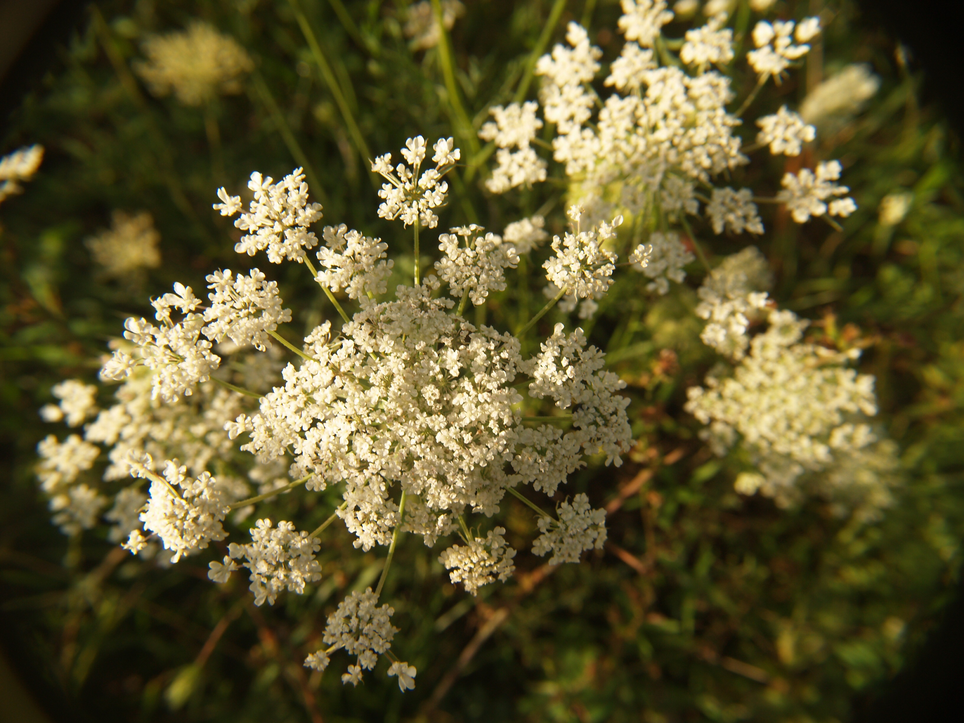 country, Queen Anne's lace , edible foods, remembrance, Anzac Day, Anzac in Australia
