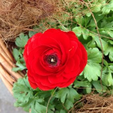 Red for cheer, BSA-1949-B33-500cc, red motor bike, motor bike with side car, deciduous trees bare in winter, logging trucks, tourist walk, winter cheer, Adelaide Hills, dusk, Serenety amongst the hustle, Stirling, spring flowers, ranunculus, anemone, spring bouquet , grow plants in basket,