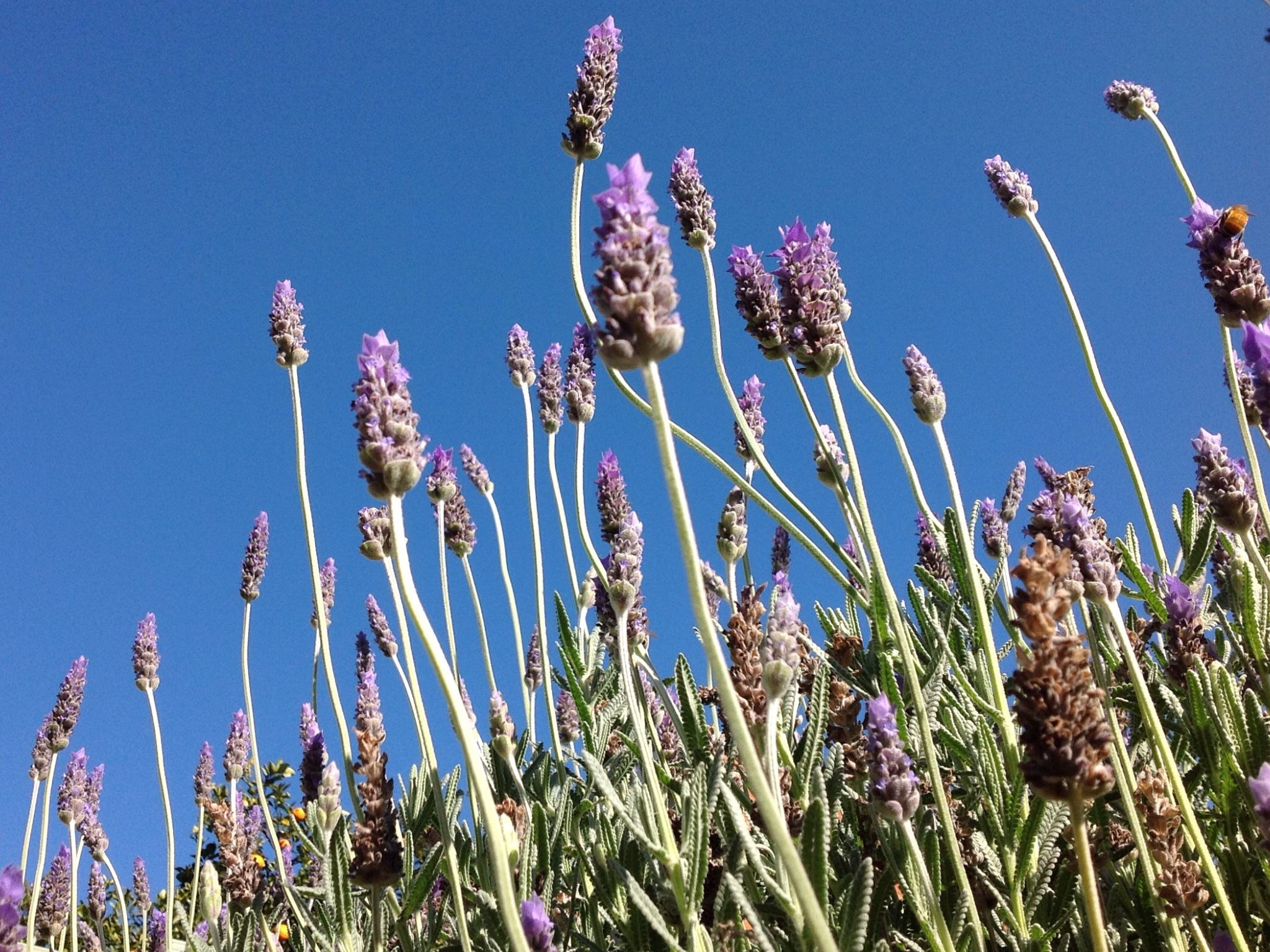 Finding beauty in the simple life, lavender hedge, find a thing of beauty every day, memories, prepare for retirement