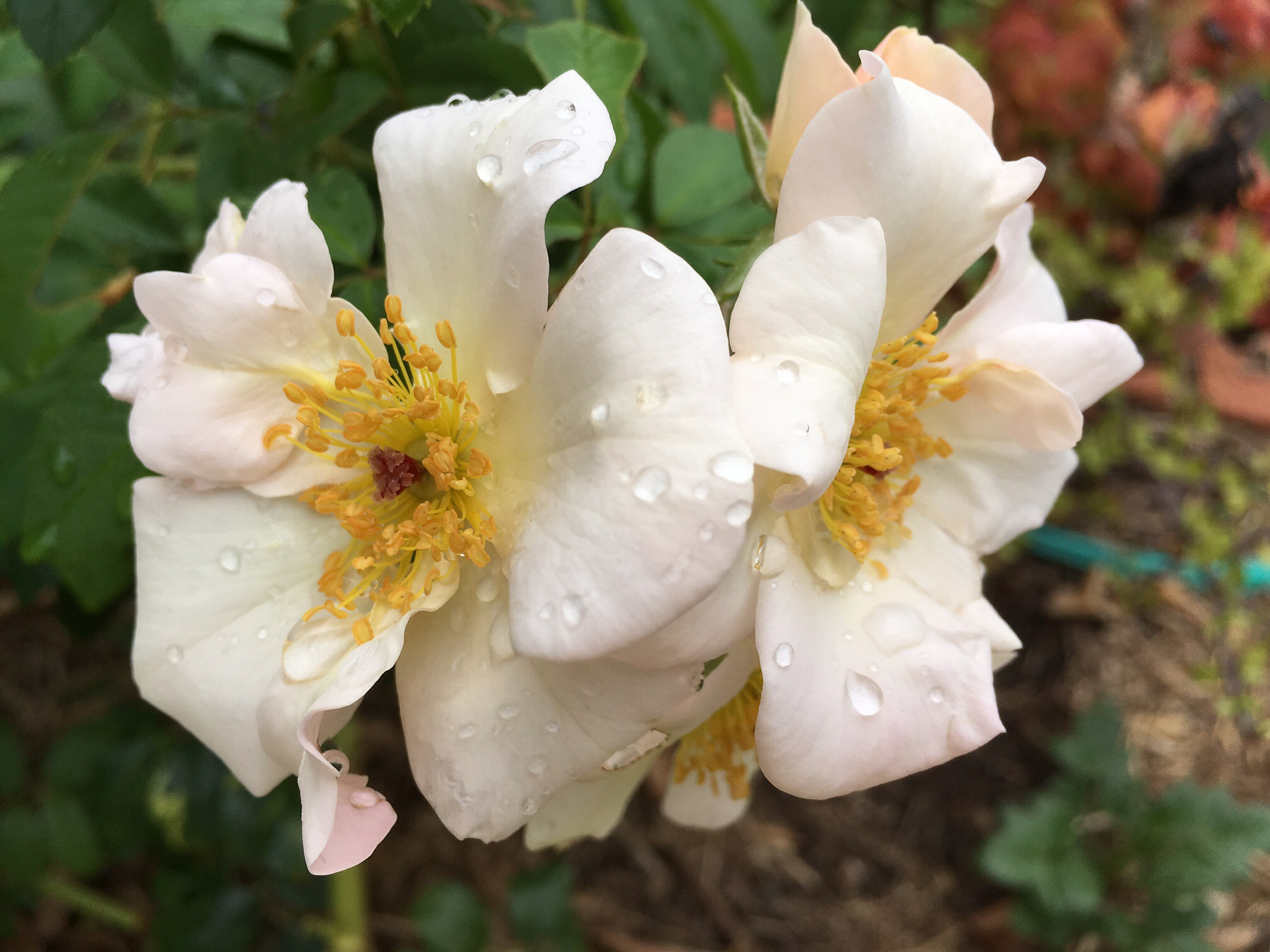 charged, refreshing rain, walking in the rain, stop and look at the rain, #itsraining, #coolchange, watering lawns, care for lawns, soaker hose for deep watering, golden rain tree, roses, climbing roses, rambling roses